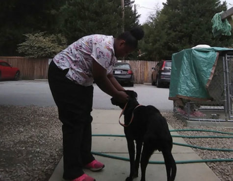 Senior, Shiloh Justice takes care of a dog for her veterinarian internship.