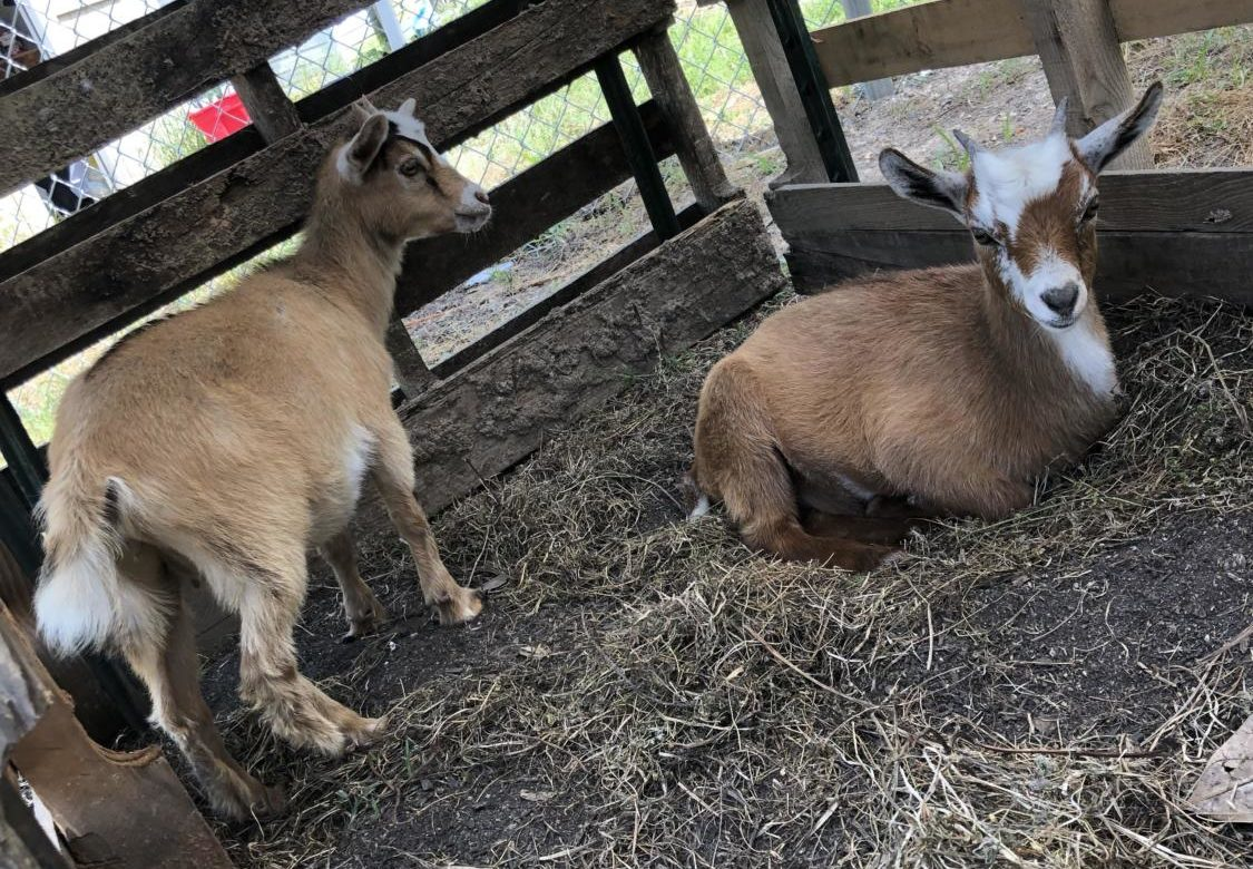 Two pygmy goats have recently joined Wakefield's family.