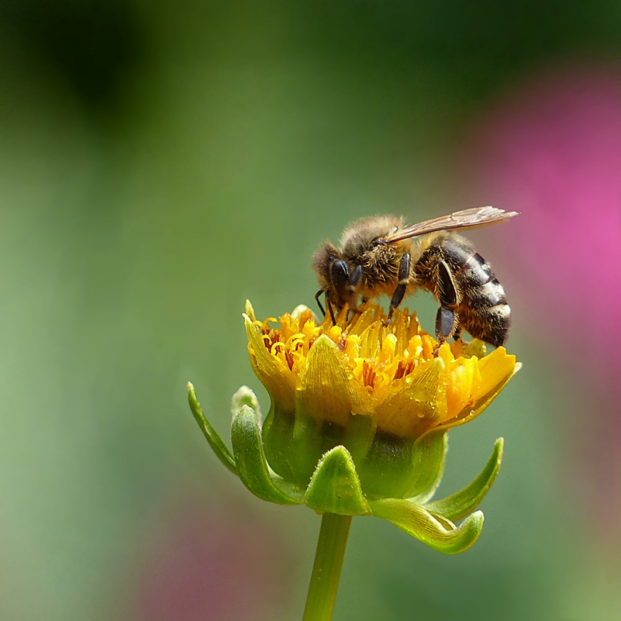 A bee pollinates a yellow flower .