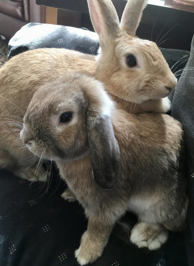A blonde rabbit and a brown rabbit sit contently together on a black sofa.