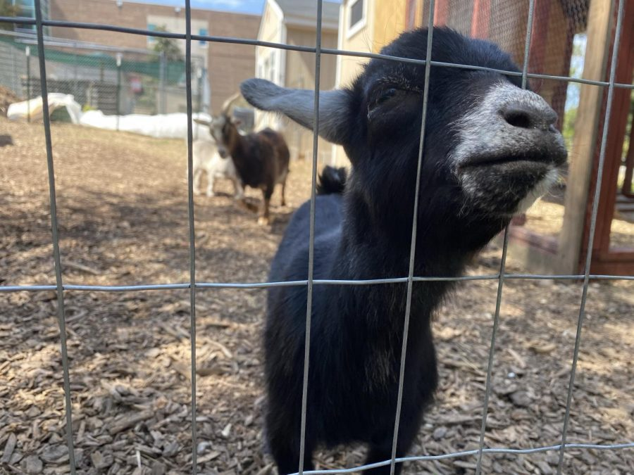 One of the new-born goats at Wakefield.